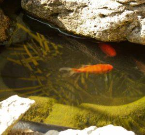 Unsere-Goldfische